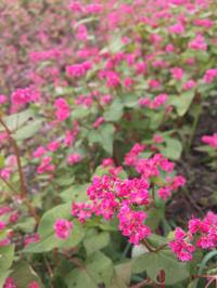 赤ソバの花♪