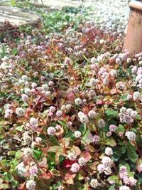 庭の花*ヒメツルソバ*