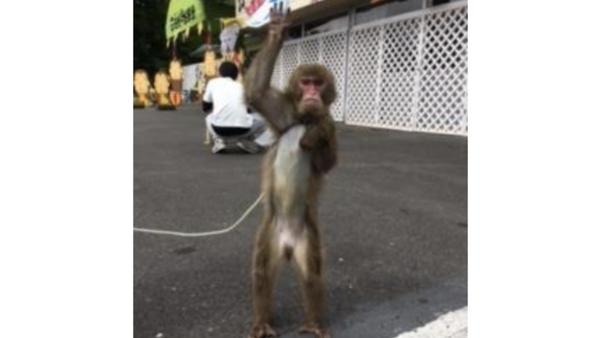 猿に首輪をつけて散歩