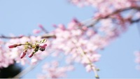 宮崎の桜開花