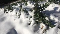 雪☃️積もる…