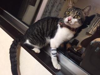 【迷子猫情報】迷子猫保護しています。どなたかこの子をご存知ありませんか?