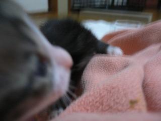 カラスに襲われた猫