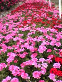 今日のバラ畑