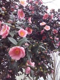 ピンクのコブシと椿が咲いてます