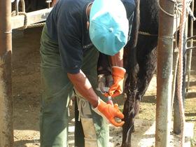 牛の爪切り