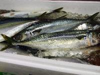 秋刀魚、さば、、、