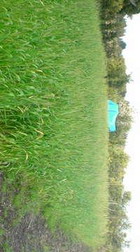 現在の小麦畑