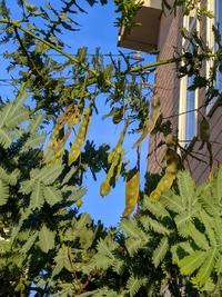 ミモザアカシアの種収穫