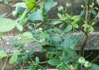 「お金の成る木」は年に4度実をつける