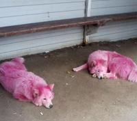 ピンク色の犬を発見って・・・・・