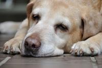 犬の認知症を考える