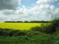 イギリスに広がる菜の花畑