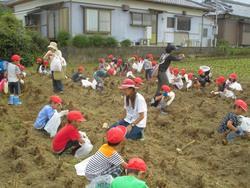 田野小学1年生による里芋収穫体験 【ファン拡大事業】