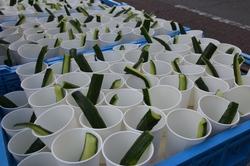 青島太平洋マラソン 胡瓜食べて完走を