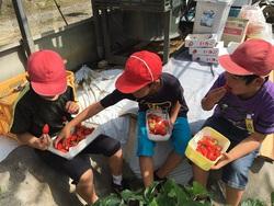 ファン拡大 イチゴ収穫体験