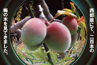西都原の200本の梅の木を見てきました。 2014/04/07 14:32:22