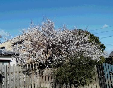 ドッグランの梅の花