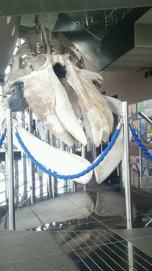海響館 シロナガスクジラ