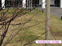 本日の桜の写真 佐土原町