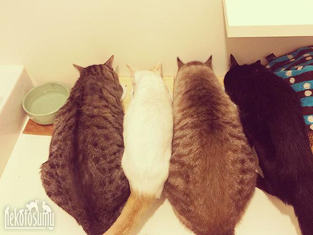 並んで仲良くお食事中(iCat【猫首輪&猫グッズ】)