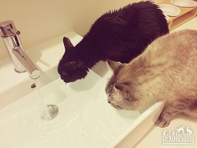 クゥちゃん、グレちゃんと仲良く洗面器で水を飲む