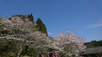 「桜満開」