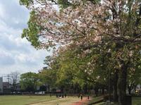 桜咲くグランドでの練習