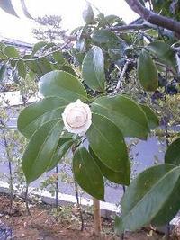 遅咲き 椿