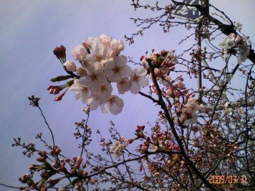 あらら、まだですね、桜