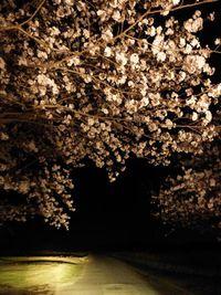 西都原の夜桜