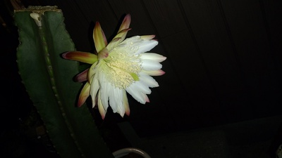 サボテンの花(^^♪