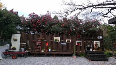 アトリエのお庭「多肉の紅葉かわいいです♪」