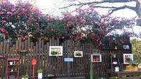 アトリエのお庭「さざんか」が満開です!「15,16日見頃です」