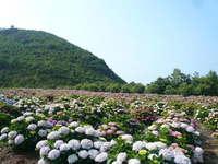 桃源郷岬のあじさい園