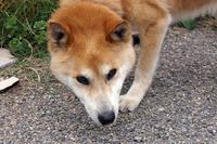 保護犬の飼い主様募集