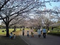宮崎県総合文化公園県民広場 桜並木