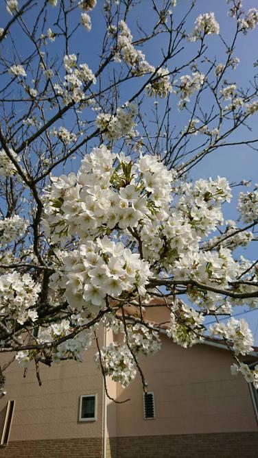 児童クラブの桜