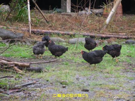 隣の鶏たち