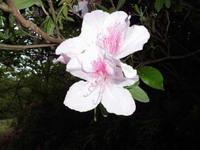 天神山公園の桜!