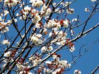 文化公園の桜を見に!