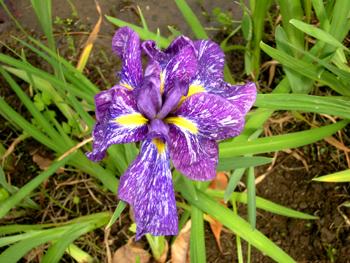 菖蒲の花は優しさ・3!