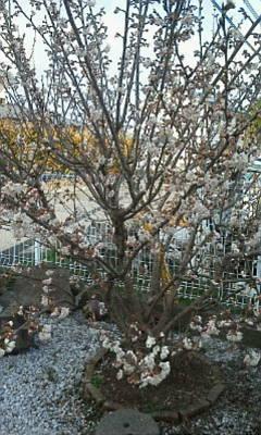 さくらんぼの花が咲きました。