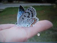 オオルリシジミ蝶