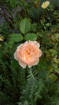 夏に咲くバラ
