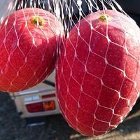 『マンゴーの収穫が始まりました♪』