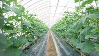 『胡瓜の初収穫♪♪♪』