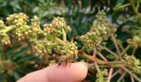 『マンゴー全棟に蜜蜂を放しました♪』