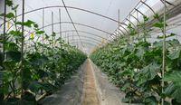 『胡瓜の収穫と大量のヤングコーン♪』