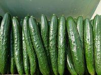 『胡瓜の出荷が始まっています!』